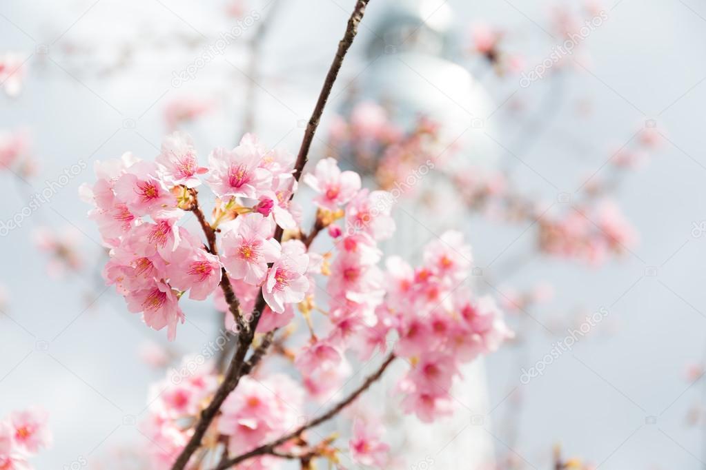 Sakura pink flowers on tree