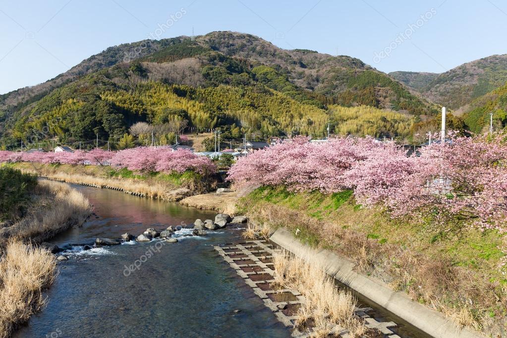 Kawazu city with sakura trees