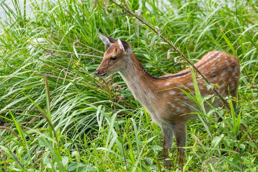 Roe deer on the meadow grass