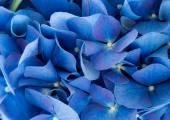 Blue Hydrangea macrophylla flowers
