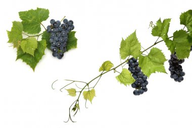 Grapes on  green vines