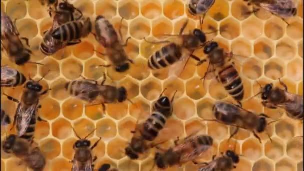 Feed a lárvák méhek