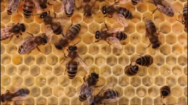 Bienen ernähren die Larven