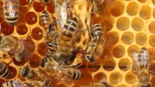 Die zukünftige Bienenkönigin entwickelt sich in einem Wachskokon. Junge Bienenkönigin kommt aus Kokon