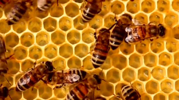 A méhek nyugodt és jól koordinált munkája a kaptárakban. A méhek különböző funkciókat látnak el. A koruktól függ. Videó készült az esti napon, a fény ellen..