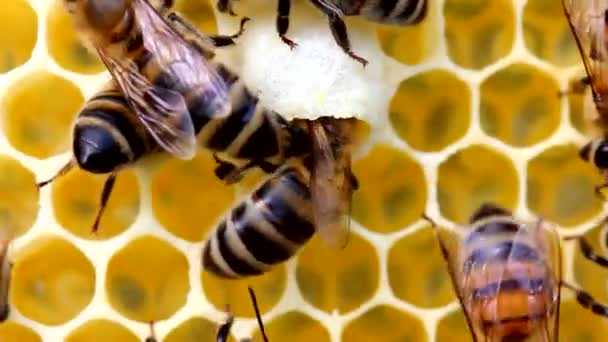 Calm and well-coordinated work of bees in the hives. Bees perform various functions. It depends on their age. Video was filmed in the evening sun, against the light.