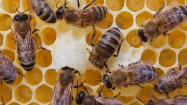 Klidná a dobře koordinovaná práce včel v úlech. Včely plní různé funkce. Záleží na jejich věku. Video bylo natočeno na večerním slunci, proti světlu.