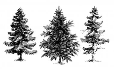 Pine trees Christmas trees realistic hand drawn vector set, is