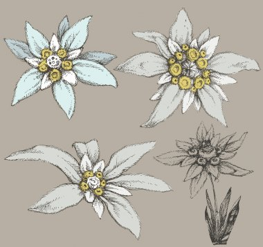 Edelweiss flower collection