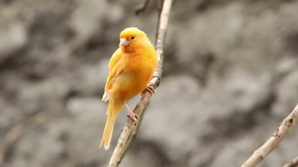 Domesticated Canary Bird