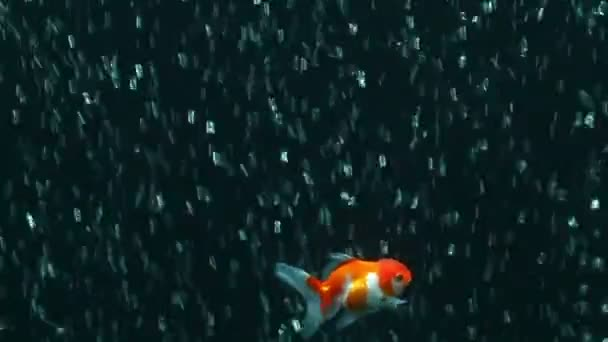 Roter Orangengoldfisch