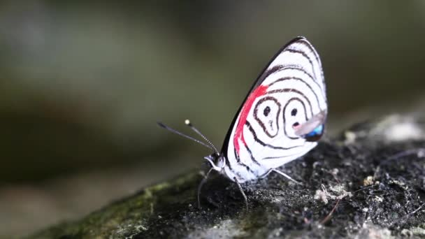 Diaethria Neglecta Butterfly