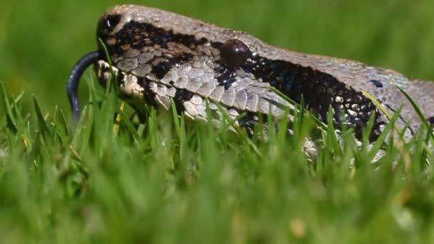 Boa Snake Low Angle