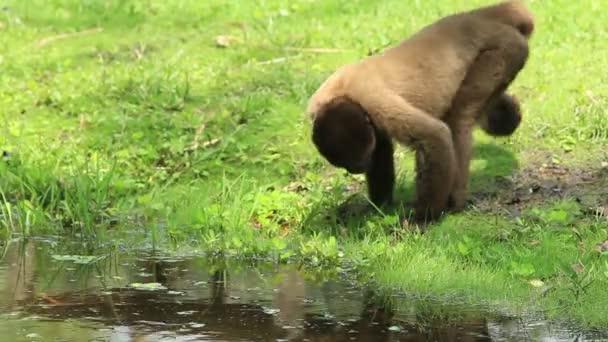 Divoký vlněný opice