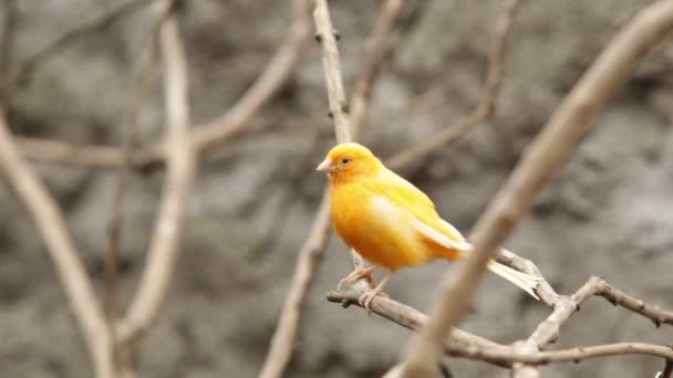 domestizierter Kanarienvogel