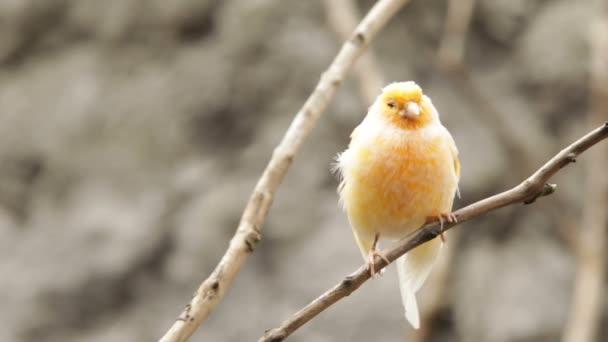 Háziasított Kanári madár