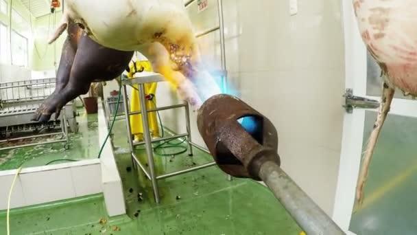 Plynový hořák připojený fotoaparát opalování prase jatečně