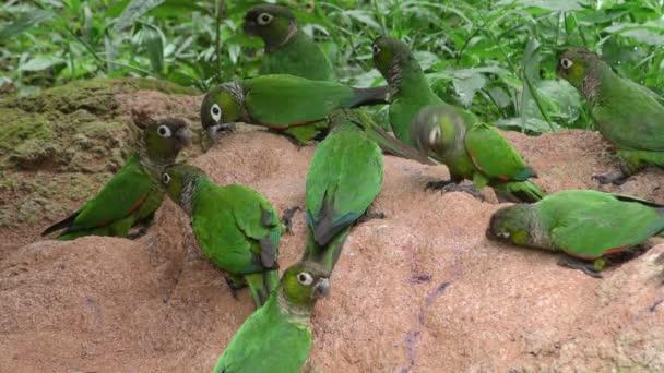 Volně žijící papoušky v amazonské džungli