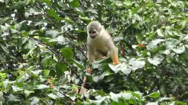 Wild Saimiri Monkey