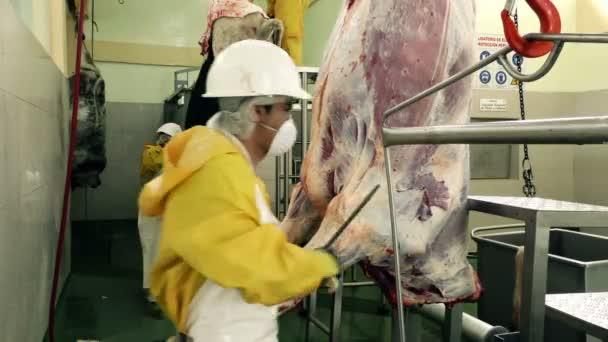 Řeznictví dělník zaplňují nůž a otevření jatečně upravených těl skotu