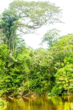 Ceiba Amazonica Or Kapok Tree