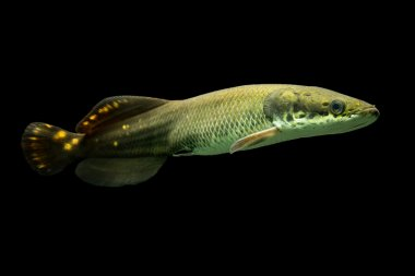 Juvenile Paiche Fish