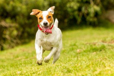 Happy Dog Running Off Leash