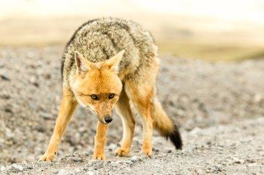 Wild Fox Cotopaxi National Park Ecuador