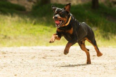 Off Leash Rottweiler Dog