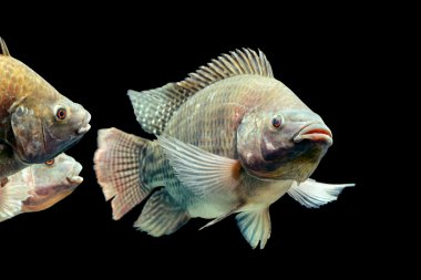Oreochromis Mossambicus Tilapia Fish