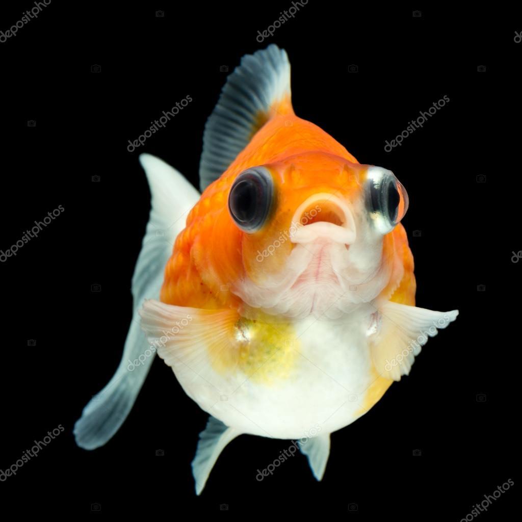 Cute Pearlscale Goldfish Telescope — Stock Photo © ammmit ...