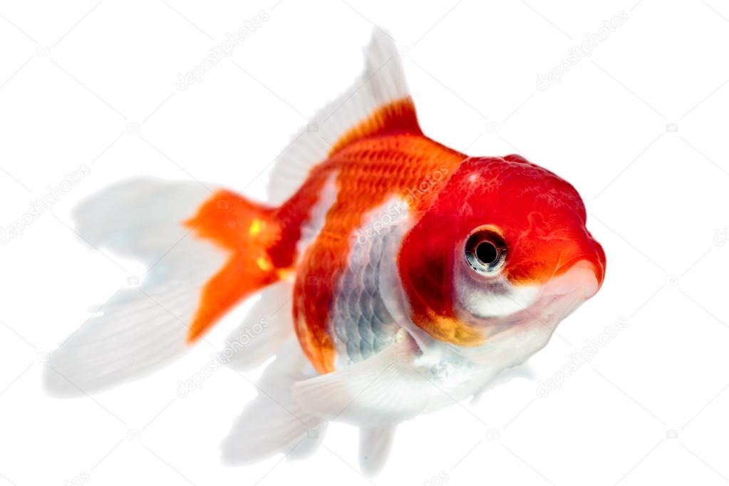 Juv nile de poisson rouge oranda photographie ammmit for Tarif poisson rouge