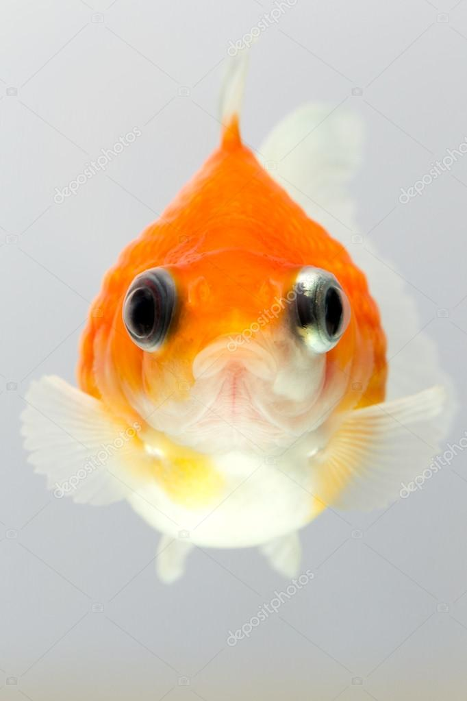 Pearlscale goldfish face stock photo ammmit 88023768 for Do all fish have scales
