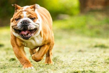 Funny Face English Bulldog In Motion