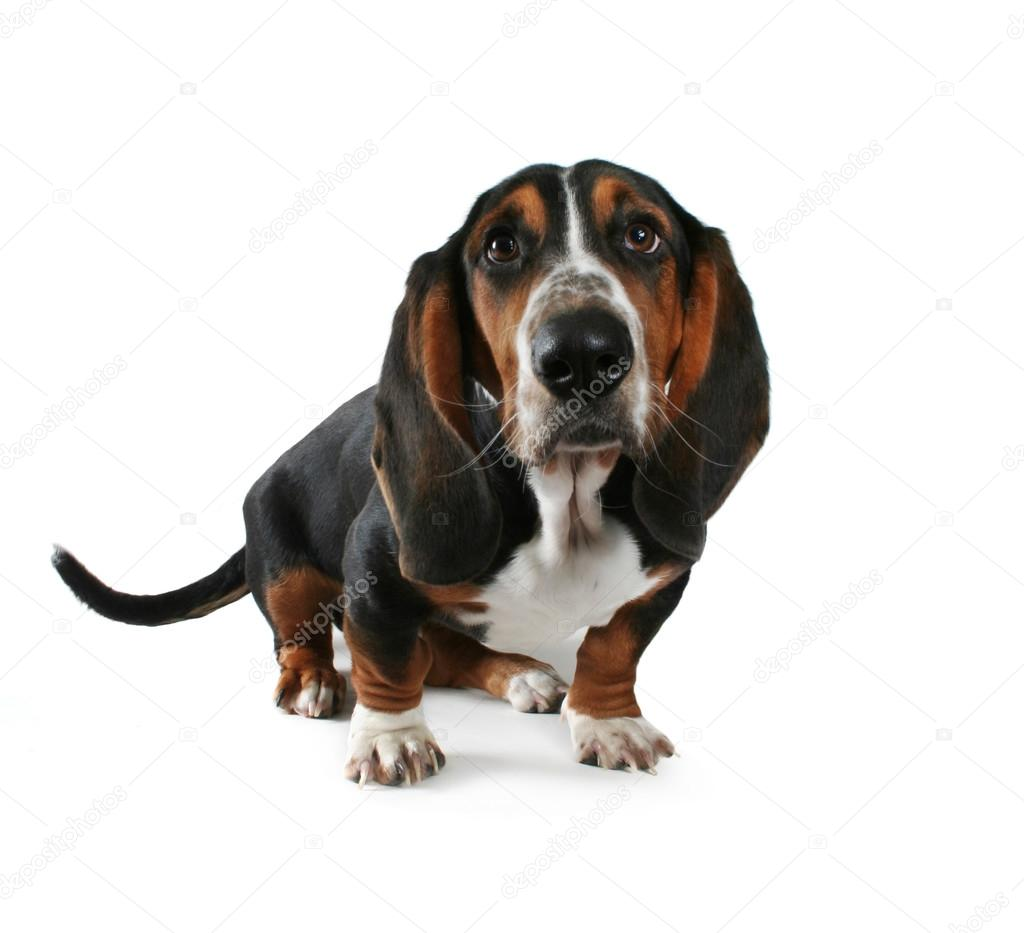 Pictures Baby Basset Hound Baby Basset Hound Stock Photo C Graphicphoto 53479767