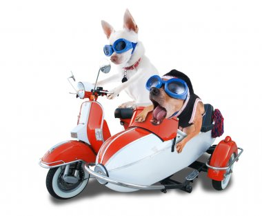 Two chihuahuas in scooter