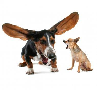 Basset hound and chihuahua yawning