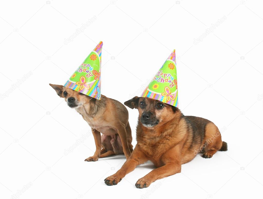 Two Dogs Celebrating A Birthday With Party Hats On Photo By