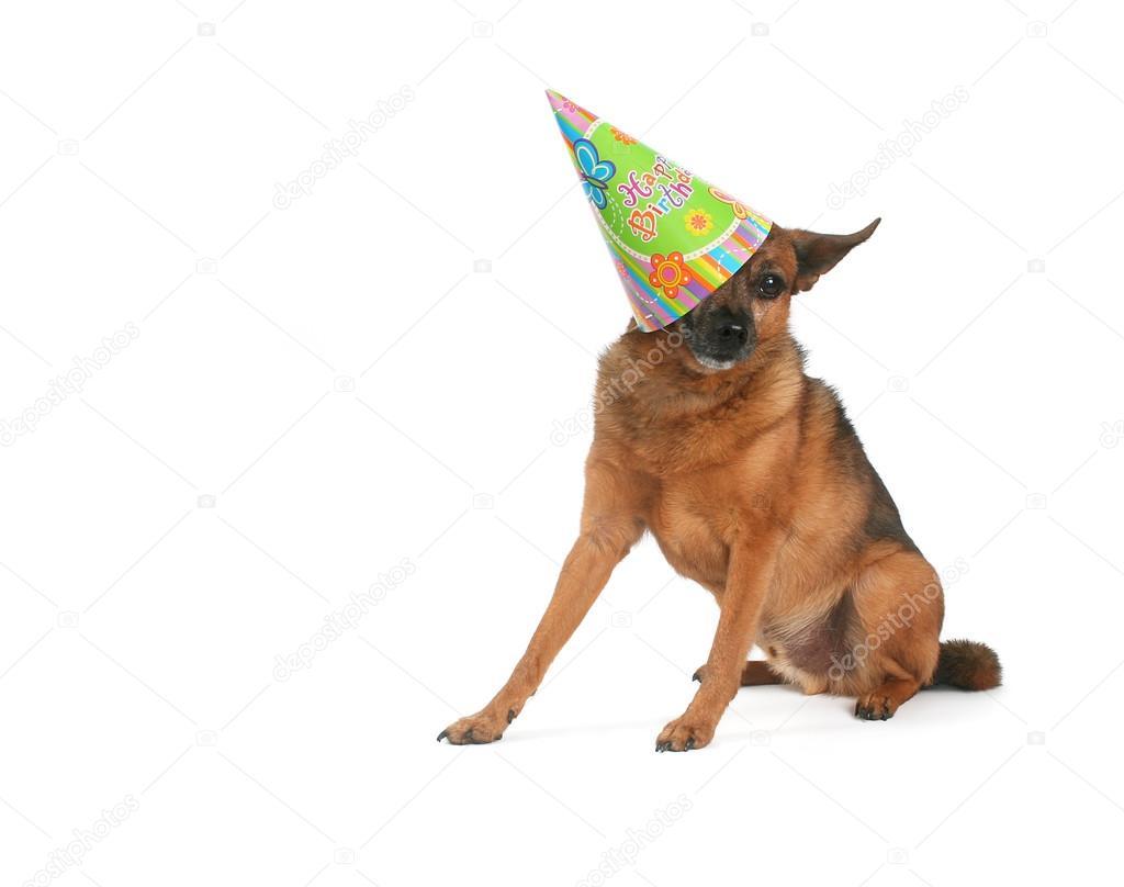 Chihuahua Mix Met Verjaardag Hoed Op Stockfoto C Graphicphoto