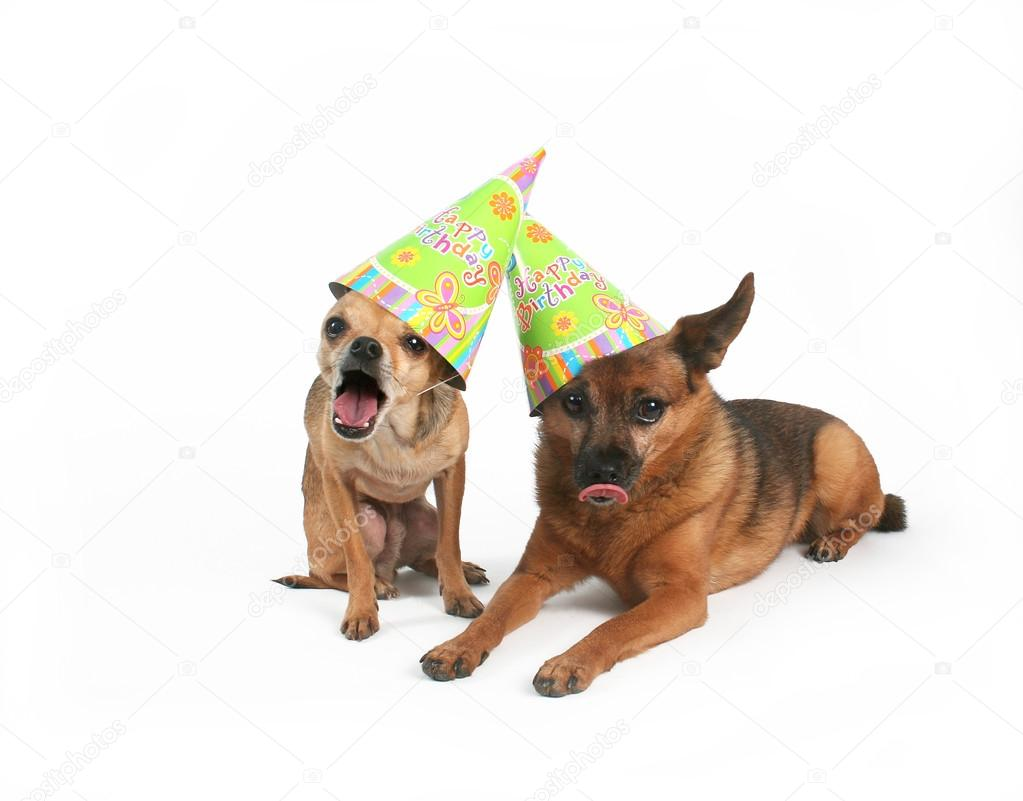 Two Dogs With Birthday Hats Stock Photo
