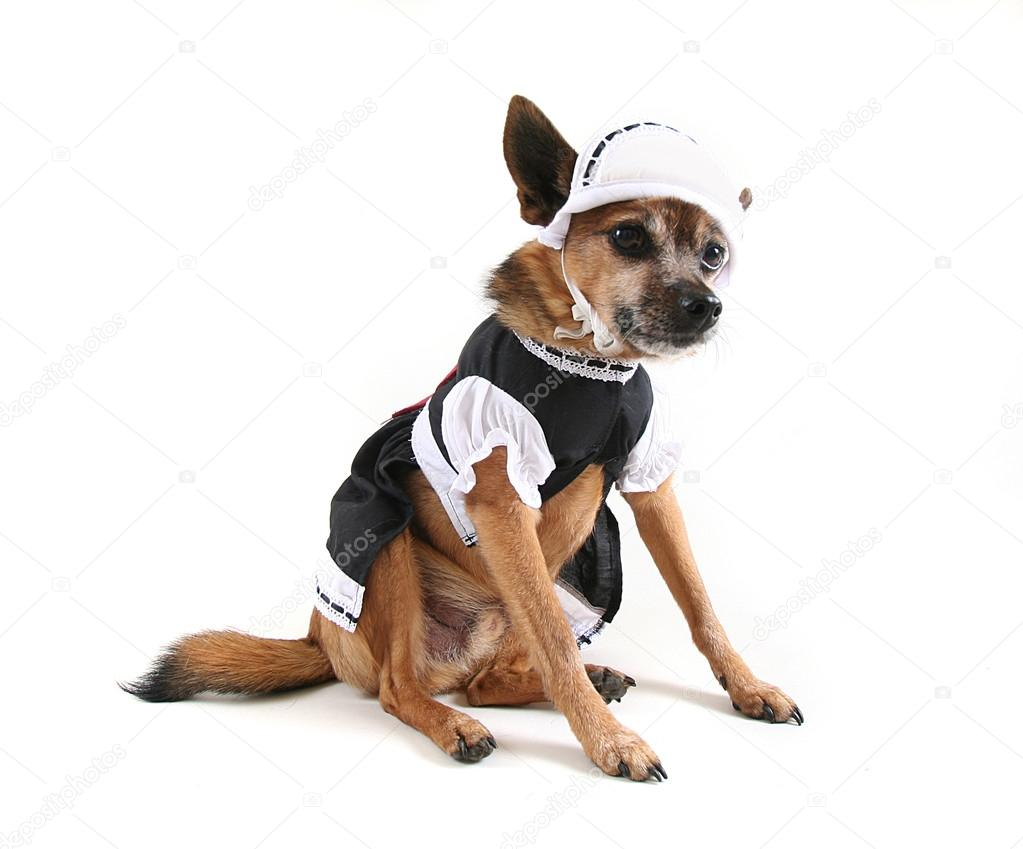 Dog Dressed Up As Maid Stock Photo C Graphicphoto 53486571