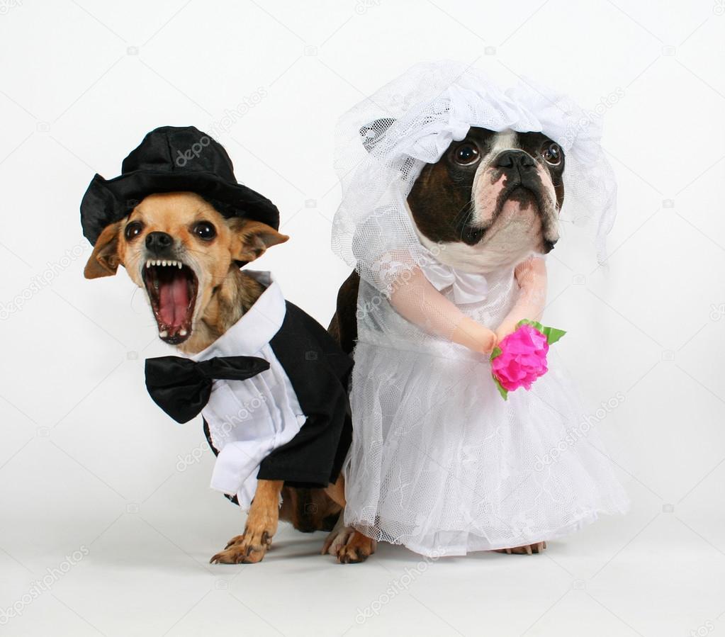 zwei Hunde in Hochzeit Kleidung — Stockfoto © graphicphoto #53487081