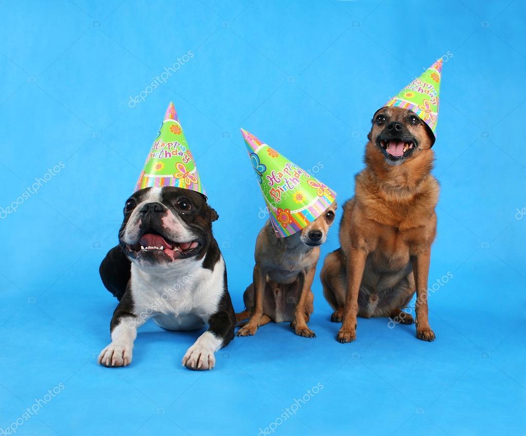 Three Dogs In Birthday Hats Stock Photo