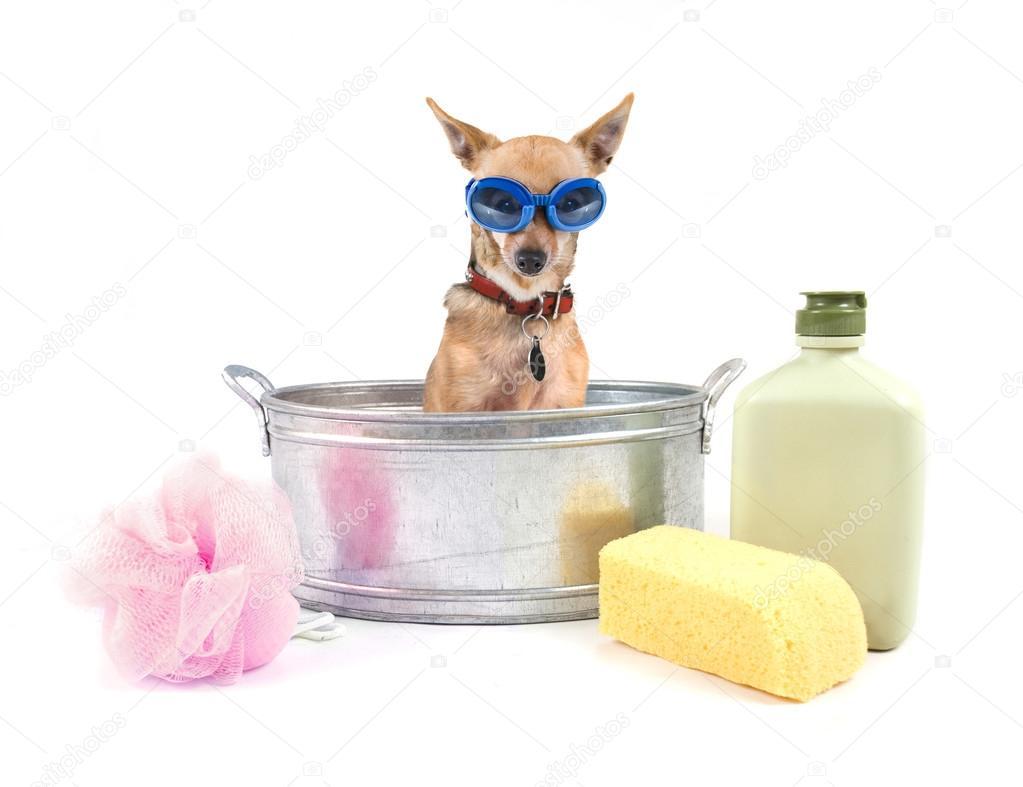 Vasca Da Bagno Metallo : Chihuahua molto piccolo nella vasca da bagno metallo u foto stock