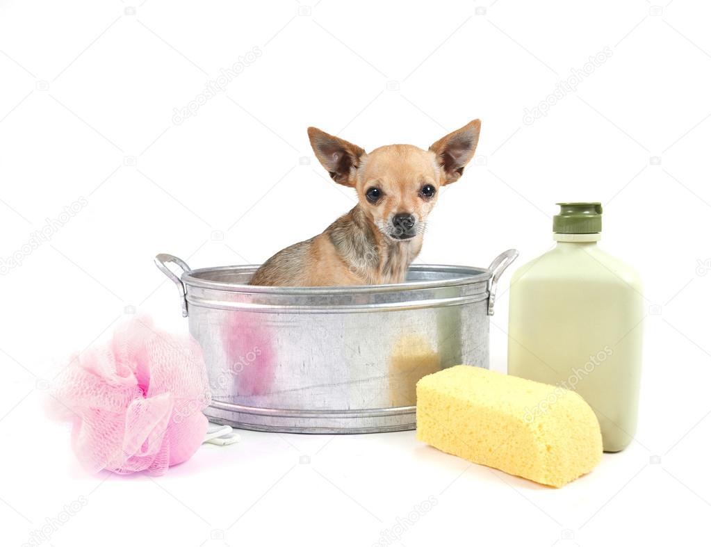 Vasca Da Bagno Molto Piccola : Chihuahua molto piccolo nella vasca da bagno metallo u foto stock