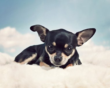 Chihuahua on some clouds