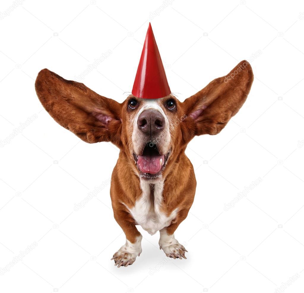 Basset Hound Met Verjaardag Hoed Stockfoto C Graphicphoto 53609443