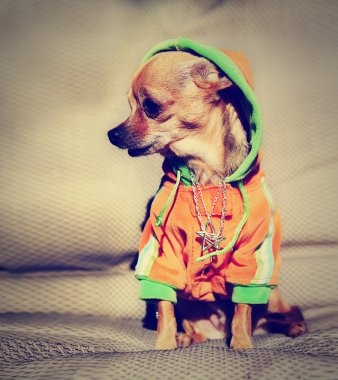 Chihuahua with hoodie and jewelry