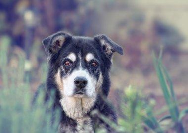Senior dog looking at camera