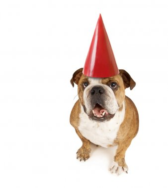 Big bulldog with birthday hat